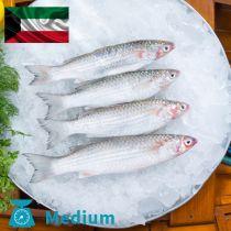 سمك ميد كويتي وسط