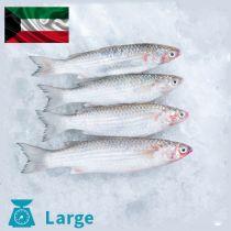 سمك ميد كويتي كبير
