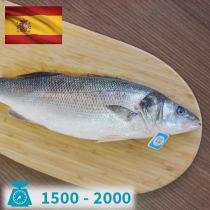 سمك سيباس اسبانى 1500-2000